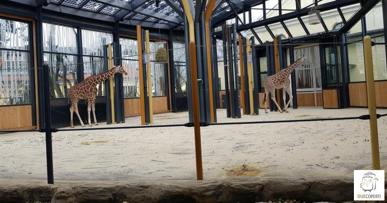 Giraffe dello Zoo di Vienna - Vienna (AT)